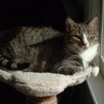 Grey tabby cat sitting beside a sunny window