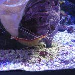 Shrimp in an aquarium (Pentax Q)