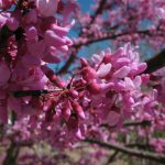 Beautiful pink flowers on a tree (Canon PowerShot A560)