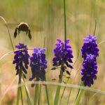 Bumblebee on top of purple flowers