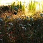 Queen Anne's Lace at dusk by a cow pasture