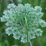 Detail of the back of a Queen Anne's Lace flower