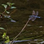 Dragonfly on grass by a lake