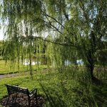 Weeping willow in a park (Canon T6i/750D, 10-18mm lens)