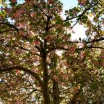 My Kanzan Cherry tree!